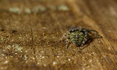 Gibbaranea gibbosa - male (markhortonphotography) Tags: fittrail gibbaraneagibbosa markhortonphotography nature araneidae frimleygreen orbweaver male macro pedipalps thatmacroguy surreyheath web frimleylodgepark surrey arachnid spider invertebrate
