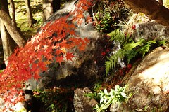 Autumn leaves at Daikaku-ji  : In Kyoto2016 () Tags: japanesemaple