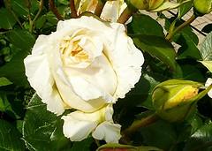Der Engel Schar (amras_de) Tags: rose rosen rua rosa rue rozo roos arrosa ruusut rs rzsa roe rozes rozen roser rza trandafir vrtnica rosslktet gl blte blume flor cvijet kvet blomst flower floro is lore kukka fleur blth virg blm fiore flos iedas zieds bloem blome kwiat floare ciuri flouer cvet blomma iek