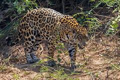 Jaguar (Panthera onca) (Jeluba) Tags: 2016 brazil brsil canon jaguar matogrosso pantanal nature wildlife mammal mammifere flin animal pantheraonca horizontal