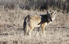 Suspicious Glance -- Coyote (Canis latrons); Catalina, AZ [Lou Feltz] (deserttoad) Tags: nature animal mammal fauna coyote dog desert arizona behavior