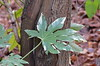 Leaf (Neal D) Tags: bc surrey crescentbeach leaf tree