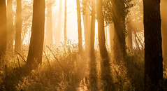 Rehab (31/50) (Stuart Stevenson) Tags: uk trees light summer mist grass fog sunrise woodland landscape photography golden scotland woods glow chilly rays backlit magical beams contrejour latesummer goldenlight filteredlight clydevalley stuartstevenson appicoftheweek