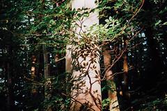 (Berill Sándor Photography) Tags: wood light shadow summer tree photography photo hungary analogue 2015 orfű analóg
