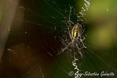 GUEJ_2015-09-07_15-35-45.jpg (jsguenette) Tags: canada wildlife qubec faune invertbr saintmathieudebeloeil spidersp araignesp