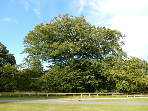 Veteran Beech, Haddo House Country Park