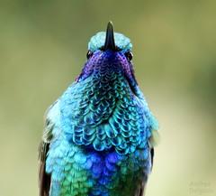 Colibri chillon - Sparkling Violetear (Colibri coruscans) (andresdelgado88) Tags: