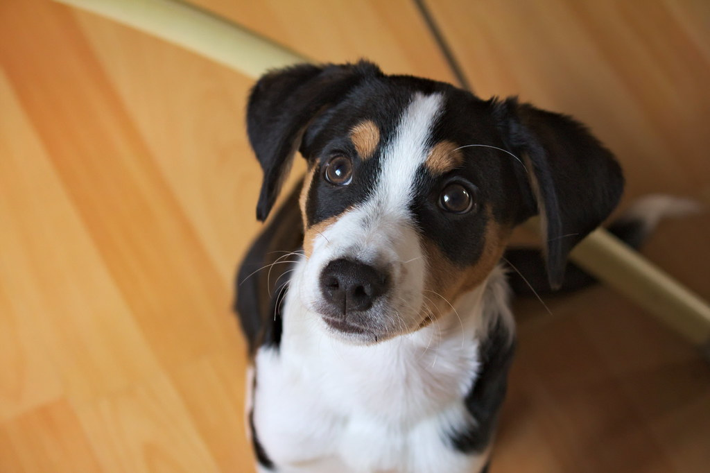 The World S Best Photos Of Appenzeller And Sennenhund