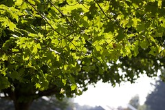 Green old tree (Cath Rows) Tags: camera family trees summer sky cloud sun plant tree green leave nature leaves forest canon fun focus colorful snapshot memories moment t3i 600d canon600d canont3i