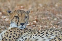 Amber eyes - EXPLORE (4 Sept. 2015). (stevelamb007) Tags: africa cat southafrica nikon eyecontact explore bigcat cheetah predator ambereyes mpumalanga d90 africanwildlife stevelamb nikon300mmf4