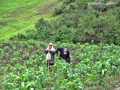 Cultivo de maiz (@omarsilva_photos) Tags: people naturaleza verde green nature corn colombia country ngc landwirtschaft feld mais campo agriculture maiz nationalgeographic cultivo campesinos agricultura boyacá azadón omarsilvaphotos florestaboycolombia