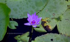 IMG_4203 (singaporeplantslover) Tags: nymphaea   lotus