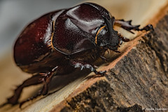 Phyllognathus excavatus (Forster 1771)  (Christos Zoumides) Tags: macro nature nikon venus ngc cyprus arthropods arthropoda arthropod macrophotography coleoptera nicosia insecta hexapoda polyphaga scarabaeoidea dynastinae athalassa scarabaeiformia dynastidae phyllognathusexcavatus pentodontini phyllognathus nationalgeographicwildlife macrodreams nikond750 venusmacro venus60mm venusoptics venus6028