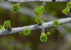 Tamarack (Larix laricina) (wackybadger) Tags: tree wisconsin nikon tamarack larixlaricina nikond60 bayfieldcounty wisconsinstatenaturalarea nikon105mmf28gafsmacro11vr barkbaysloughsna sna137