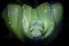 Green Snake (Shooting Ben) Tags: green eyes skin reptile snake watching lizard scales hanging resting greensnake