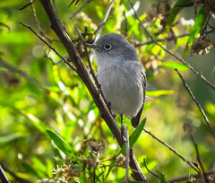 Blue-gray Gnatcatcher Ballona Freshwater Marsh 2853 (pekabo90401) Tags: canon birdwatching ballona lightroom gnatcatcher bluegraygnatcatcher tinybird southerncaliforniabirds ballonafreshwatermarsh sx50 canonsx50 birdwatchinglosangeles pekabo90401 birdsofballona gnatraptor tinyandfast