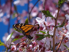 Happy spring, everyone (Home Land & Sea) Tags: pink newzealand spring blossoms nz napier pointshoot sonycybershot hawkesbay monarchbutterfly explored homelandsea dschx100v