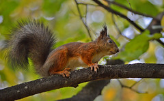 Red Devil... :-)) (L.Lahtinen (nature photography)) Tags: squirrel autumn kurre wildlife orava syksy finland suomi flickr nikon animal redsquirrel eläin nature luonto cute adorable furry suloinen bokeh söpö d3200 nikond3200 55300mm europe