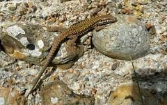 Wall Lizard at Shoreham Old Fort. (julzz2) Tags: lizard walllizard britishlizards