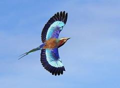 Rockin' And Rollin' [eXPLoReD] (Ger Bosma) Tags: africa bird closeup inflight wings african flight roller colourful lilacbreastedroller coraciascaudata gabelracke spreadwings coraciascaudatus rollieràlongsbrins vorkstaartscharrelaar gabelschwanzracke grünscheitelracke ghiandaiamarinapettolilla carracalila gabelrake 2mg144891afiltered