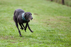 Retired but Alive (e_impact) Tags: dog greyhound black canon germany deutschland concentration track fast racing strong retired quick sporty k9 hopeful
