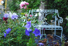 August in the Garden - Explored (Mark Wordy) Tags: flowers roses summer bench seat ornate mygarden platycodon balloonflowers rosebrothercadfael markwordy