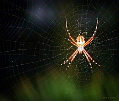 Isn't she lovely? (Chris C. Crowley) Tags: insect spider colorful legs web arachnid spiderweb isntshelovely spidersilk bigspider bananaspider goldenorbweaver colorfulspider