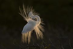 Grande aigrette / Great Egret (DanSar49) Tags: mpdquebec