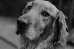 That look in their eyes! (tvdflickr) Tags: bw dog pet monochrome goldenretriever golden eyes nikon df jake ears canine retriever stare snout nikondf photosbytomdriggers photobytomdriggers thomasdriggersphotography
