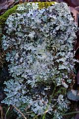LIchen (Eric Hunt.) Tags: lichen bryophyte foliose