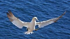 20160912_024_perce_ile_bonaventure_gannet_landing (lindy_scuba) Tags: bonaventure canada flying gannet landing perce quebec