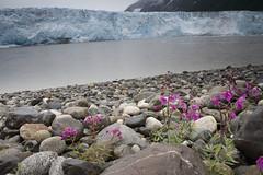 060722-012 (USFS Region 10) Tags: chugachnationalforest alaska forestservice cordova childsglacier copperriver glacier dwarffireweed epilobiumlatifolium wildflower wildflowers