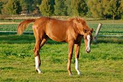 Life is Crazy / Oktober I (Heiko Schneemann) Tags: pferde fohlen foal lifeiscrazy