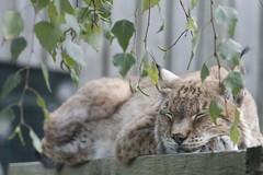(Mnica Almeda) Tags: lince iberico gatito zoo