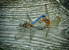 WONDER OF NATURE 3 (gazza294) Tags: dragonfly flicker flickr flckr flkr gazza294 garymargetts