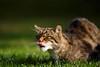 IMG_1637 (TvdMost) Tags: bwc britishwildlifecentre felissilvestris scottishwildcat wildcat wildekat