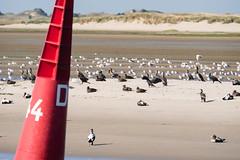 Buoys and Birds (martinstelbrink) Tags: buoy boje kormorane cormorants commoneiders eiderenten silbermwen seagulls mwen norderney baltrum baltrumiii sandbank sony alpha77ii a77m2 a77ii sigma120400mmf4556 sigma tele bird birds europeanherringgulls