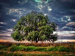 Lonely tree (Firefly Ju) Tags: tree sky field landsape