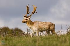 Dyrham Park (NT) 20161103-0724 (Rob Swain Photography) Tags: deer stag dyrham england unitedkingdom gb buck