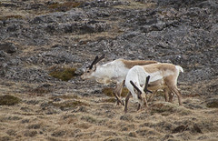 an unexpected encounter - HFF! (lunaryuna) Tags: iceland easticeland djupivogur landscape roughlandscape animals reindeer roamingfree furryfriday hff lunaryuna