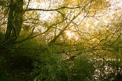 Reaching In Front of the Sun (ChrisDale) Tags: autumn chrisdale chrismdale early golden goldenhour goldenlight gunthorpe haze light morning nottingham nottinghamshire notts october river rivertrent sun sunlight trees trent woodland