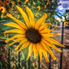 Sunflower at the gate (Pejasar) Tags: sunflower yellow gate tulsa oklahoma bloom blossom nature