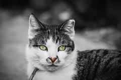 She's mine! (Yovel Rodoy) Tags: cat cats animal animals nikon d7100 slr dslr 105mm portrait nose cute face eye eyes israel mine she faces