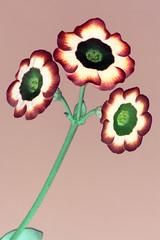 Auricula (brianrosshaslam) Tags: auricula inverted flowers petals