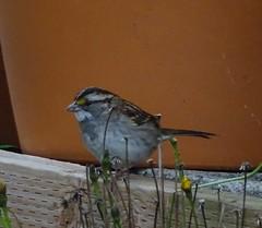 White-throated Sparrow--Zonotrichia albicollis (Polioptila caerulea) Tags: whitethroatedsparrow sparrow zonotrichiaalbicollis zonotrichia ptstgeorge delnortecounty california wtsp