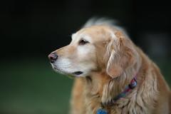 Golden Retriever (Nick - n2photography) Tags: golden goldenretriever dog doggy sharp canon5dsr 200mm f2 supertele outdoor natural bokeh bokehlicious whatbackground fall autumn