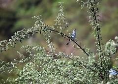 Celestino (anitareal) Tags: ave pjaro celeste rbol follaje airelibre foto jujuyargentina anamariareal naturaleza nikon