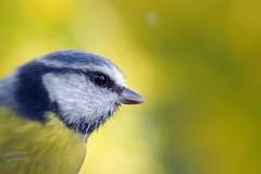 Mésange bleue (welchomestef) Tags: mésange bleue bird bleu blue tit