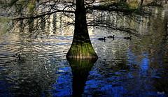 Luces.... (Garciamartn) Tags: agua lago ave patos reflejo luz rbol naturaleza nino garciamartn madrid retiro ciprscalvo