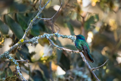 Sparkling violetear ( Colibri coruscans ) (Pito-pito) Tags: sparklingvioletear violetear tumbaco ecuador equateur quito andes colibri hummingbird nature wild wildlife animal animaux oiseau bird ave ornithologie ornithology nikon nikond750 nikkor tamron tamron150600 colibridanas lumire light bokeh